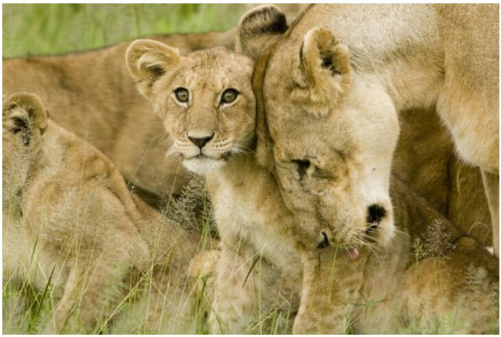 Lion Cub with Mother in the Serengeti
