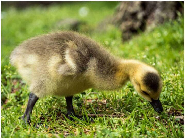 The Beautiful Canada Goose